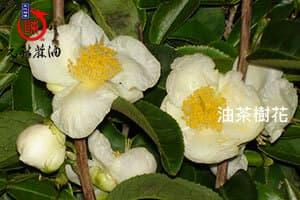 油茶樹花,山茶樹花